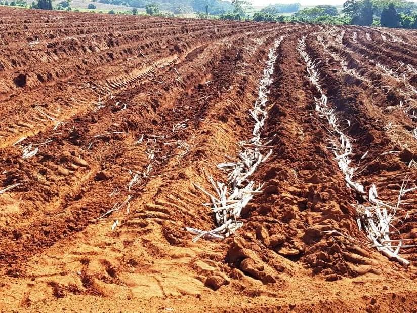 Plantio de cana-de-açúcar em Olímpia, SP.